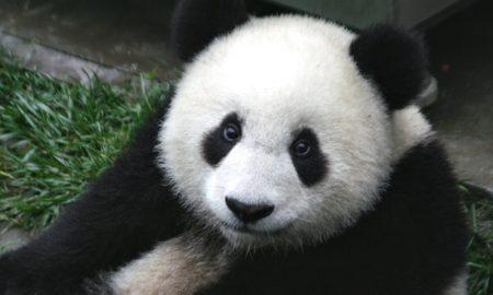 Giant Panda Study