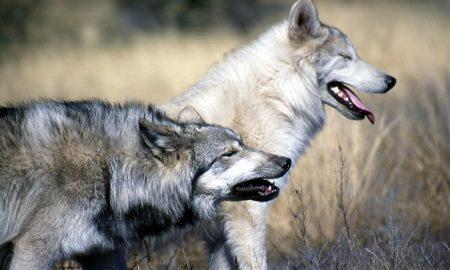 Washington Gray Wolf