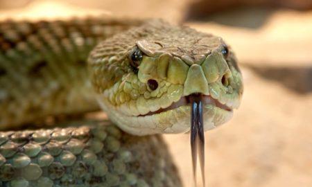 Snake Penis