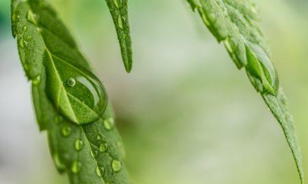 Cannabis Leaf Dripping Water