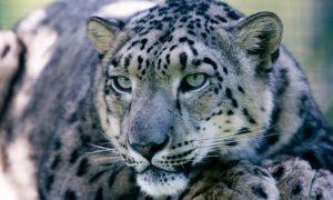 snow-leopard-1305078_640