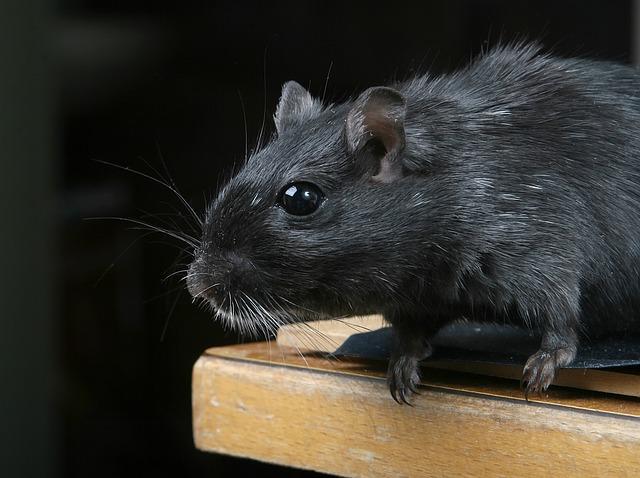 Leptospirosis: New York Rat Pee Disease Kills 1, 2 Others Ill