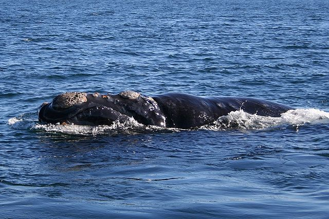 Right whales facing extinction after 17 die this year, scientists say